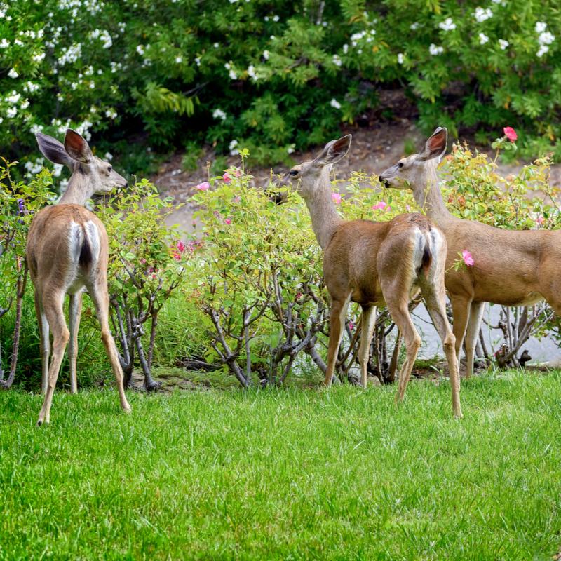 deer eating shrubs in a yard