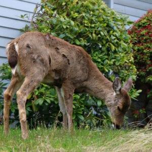 deer in a yard