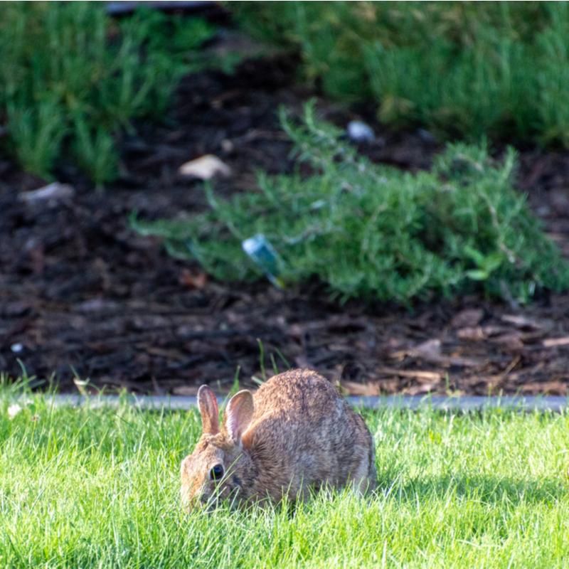 rabbit in yard